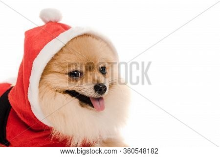 Pomeranian Spitz Dog In Santa Costume At Christmastime Isolated On White