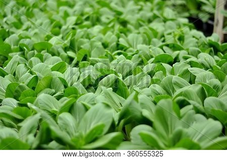 Bok Choy, Pak Choi, Or Pok Choi Is A Type Of Chinese Cabbage.