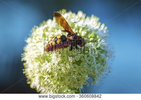 Megascolia Maculata. Scola Giant Wasp On A Onion Flower. Megascolia Maculata Is A Species Of Large W
