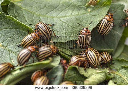 Potato Bugs On Foliage Of Potato In Nature, Natural Background, Close View.