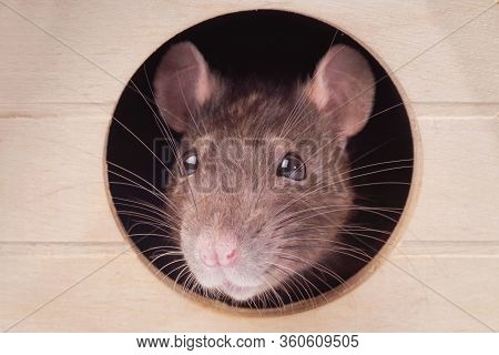 Muzzle Of A Gray Rat. Rat In The House.the Mouse Looks In A Round Hole .