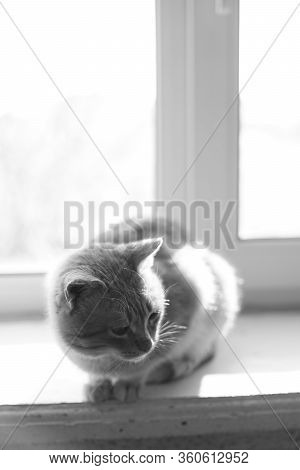 Lovely Cat Sits On A Windowsill Indoor, Bw Photo