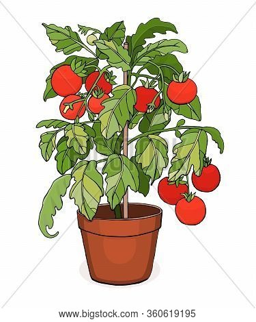 Cherry Tomato Plant In A Pot. Home Gardening. Vector Illustration Isolated On White Background.