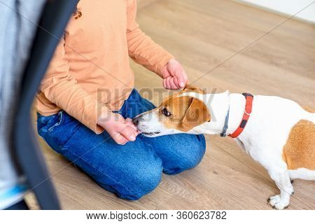 Girl Playing With Dog Jack Russell Terrier. Child And A Pet Playing In A Tent At Home. Jack Russell