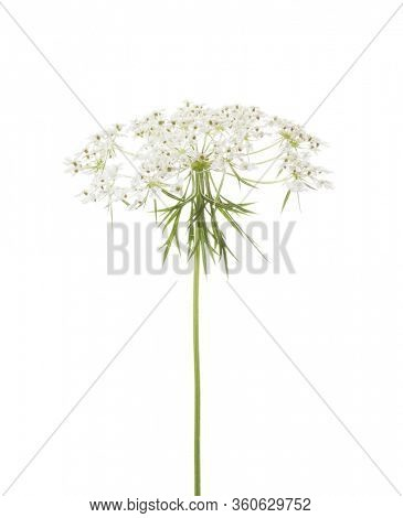 The umbel of a Wild Carrot (Daucus Carota) isolated  on white background.