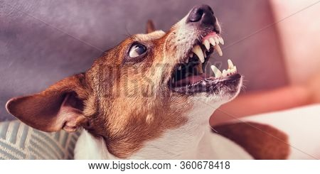 Dog Growls With Teeth In Grin At Home