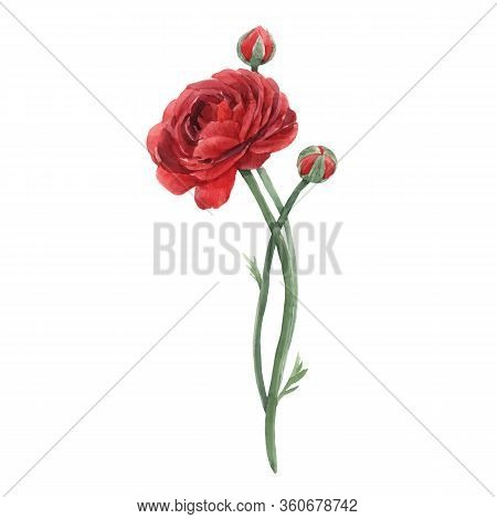 Beautiful Vector Watercolor Floral Image With Red Ranunculus Flower. Stock Illustration.