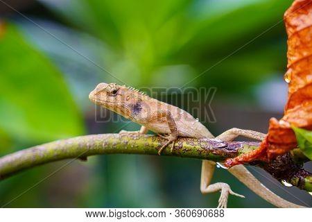 Close Up Macro Concept Garden Lizard Oriental Garden Lizard, Eastern Garden Lizard, Changeable Lizar