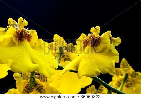 Yellow Orchid 11