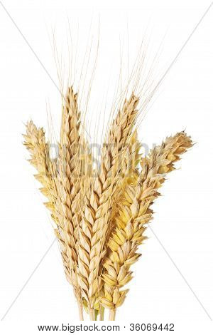Wheat And Barley Ears