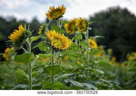 A Field Of Sunflowers In Millis Massachusetts