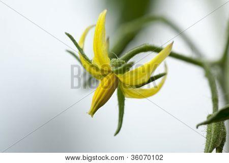 Flowers Of Tomato