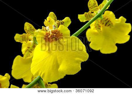 Yellow Orchid 16