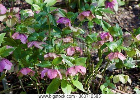 Beautiful Pink Purple Hellebore Or Hellebores Flowers In Spring