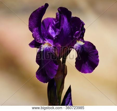 Close Up Of A Gorgeous Deep Purple Iris Flower With Its Orange Highlights And Yellow Beard.
