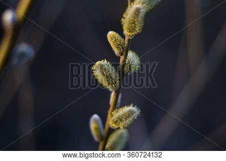 Macro Shot Of Blossoming Pussy-willow With Forest Background. The First Signs Of Spring Expressions: