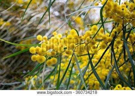 Blossoming Of Mimosa Tree,  Golden Wattle Close Up In Spring, Bright Yellow Flowers, Acacia Flowers