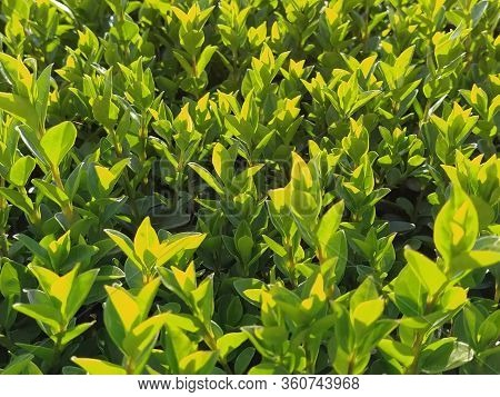 Beautiful Hedge Or Boxwood Lawn. Young Shoots And Branches Of A Shrub Plant Grew In The Spring. Warm