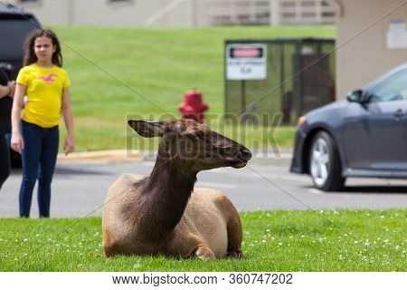Yellowstone National Park, Usa - July 14 2014:  A Cow Elk Resting In The Grass Next To A Parking Are