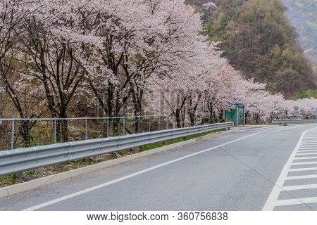 Cheery Blossom Trees Line Paved Lane Behind Expressway Bus Stop With Tree Covered Mountain In Backgr