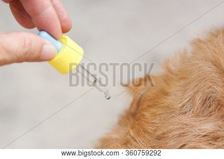 Pet Owner Droping Tick And Flea Killer On Dog's Back