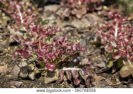 Red Oak Lettuce Grown On Soil Ground In Organic Farm Background For Food Healthy Vegetables Salad.
