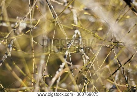 Many dry branches with a shallow depth of field in warm yellow-green tones. Branches create an abstract background with texture. Soft focus.
