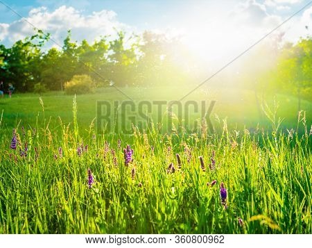 Sunny Meadow With White Flowers And Trees