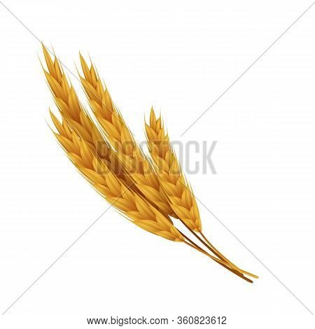 Realistic Wheat Ears With Grains. Yellow Rye For Bakery. Vector Illustrations Agricultural Healthy F