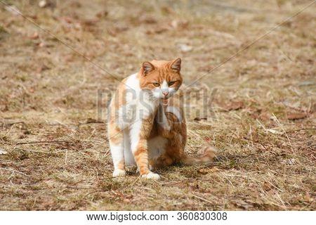 Cat Scratching Fleas. Outdoor Orange Cat Scratching Fleas In Yard