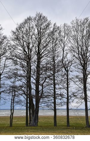 Alder Trees By The Seashore On The Swedish Island Oland