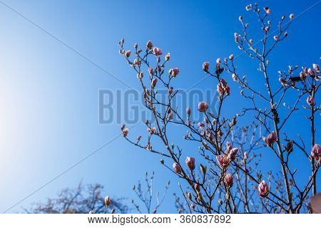 Magnolia Flowers. Tree Blooming With Pink Flowers In Spring Garden. Branch In Blossom. April Landsca
