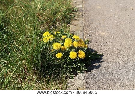 Yellow Dandelions Grow On The Sidelines In Spring