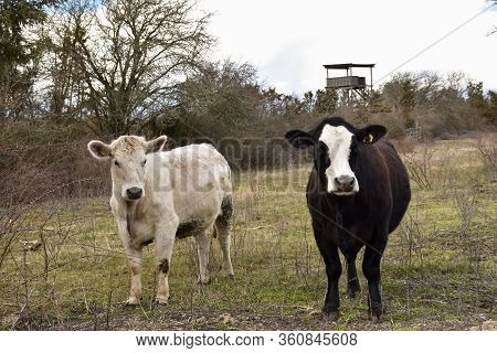 Curious Cows In A Meadow Landscape With A Birdwatching Tower In The Background