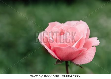 One Blossoming Pink Rose On A Background Of Green Grass And Leaves. A Delicate Flower Can Be Used As