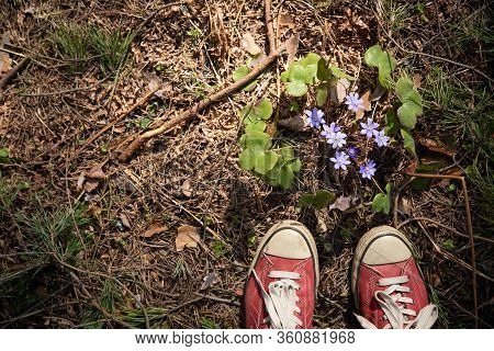 Top View On Sneakers And Beautiful Snowdrops Growing In The Forest. The First Spring Flowers. The Be