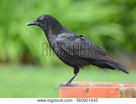 American Crow, Corvus brachyrhynchos, standing on a brick post in a suburban garden.