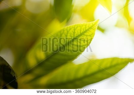 Close Up Green Leaf Under Sunlight In The Garden. Natural Background With Copy Space.