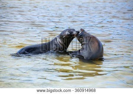 Galapagos Sea Lions Playing In Water At Gardner Bay, Espanola Island, Galapagos National Park, Ecuad