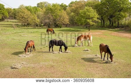 Aerial view of five horses eating their morning hay in spring pasture