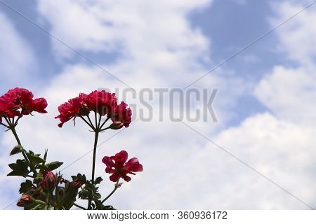Floral Background. Red Inflorescences Of Pelargonium Against The Sky. On The Left Frame Is A Bush Of