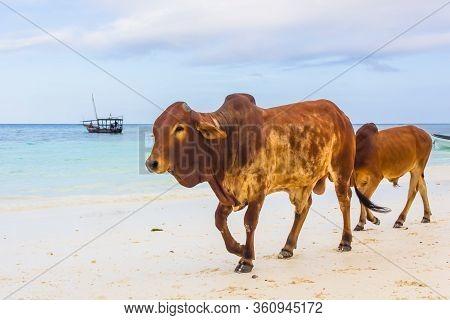 The Cows Walking To The Beach In Tanzania