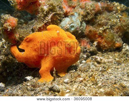 Orange Painted Frogfish.