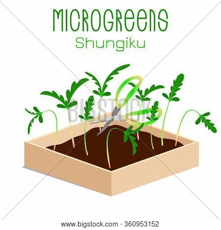 Microgreens Shungiku. Sprouts In A Bowl. Sprouting Seeds Of A Plant. Vitamin Supplement, Vegan Food.