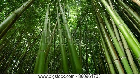 Fragment Of The Bamboo Thickets, Bottom Panoramic View, Close-up In Selective Focus