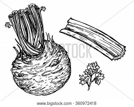 Celery With Stalks, Greens And Root. Ink Sketch Isolated On White Background. Vector Illustration. C