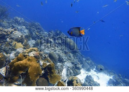 An Underwater Photo Of A Queen Angelfish Or Holacanthus Ciliaris Which Is Found Near Reefs In The Wa