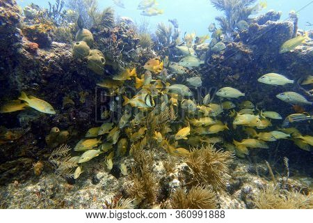 An Underwater Photo Of Blue Striped Grunt (haemulon Sciurus) Or Bluestriped Grunt, Is A Subtropical