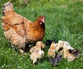 Chicken With Babies