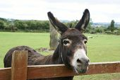 Nice donkey looking out at the world. poster